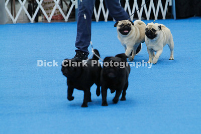 Bluegrass Pug Fanciers Tuesday Conformation