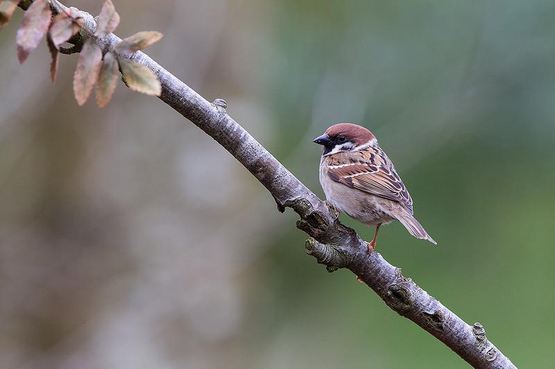 Tree Sparrow 1403268657.jpg