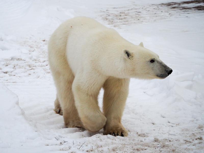 Polar bear in Manitoba