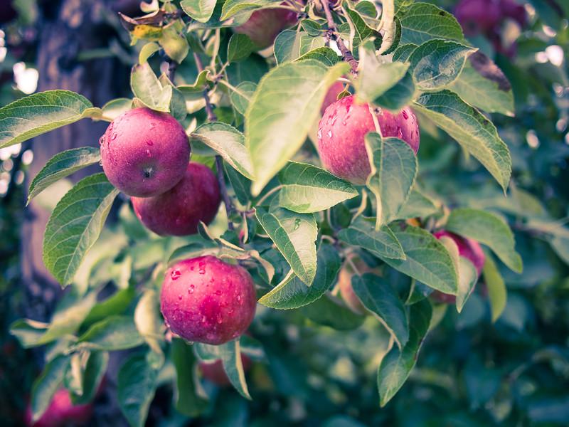 red prince apples 6.jpg