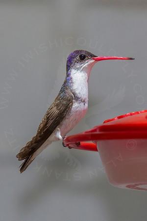Hummingbird, Violet-Crowned