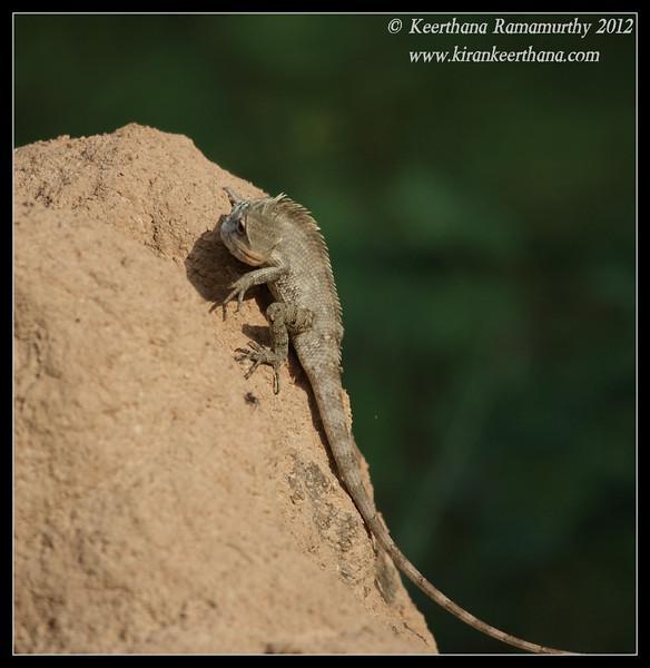 Variable Agama looking at the spider, Chamundi Hills, Mysore, Karnataka, India, May 2012