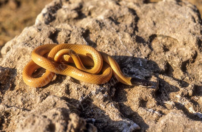 Palestine Kukri Snake  - Rhynchocalamus melanocephalus melanocephalus  -שלוון שחור ראש