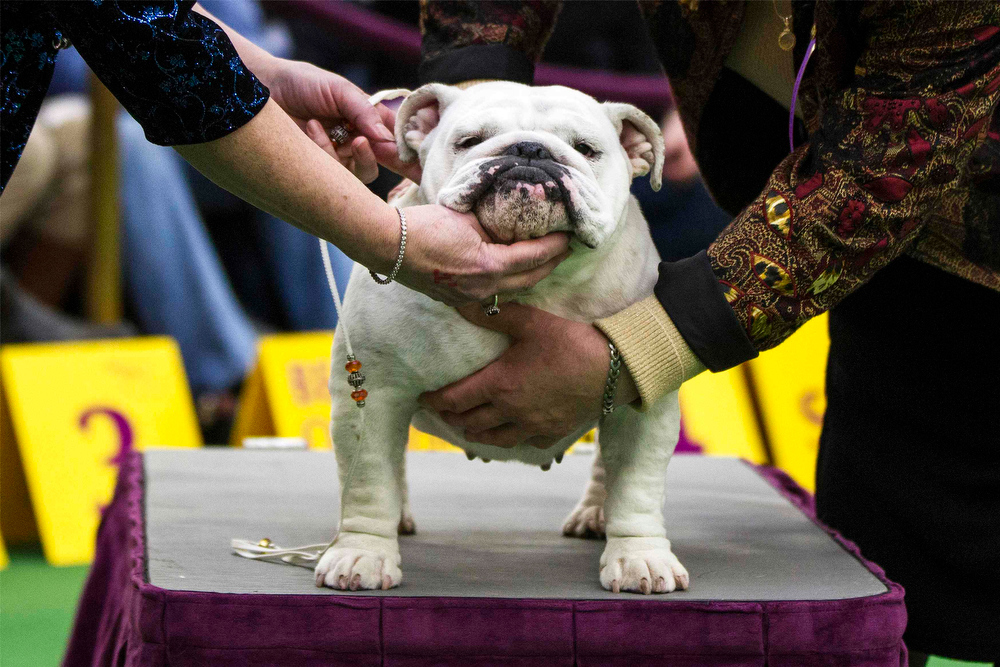 Description of . A judge and handler feel the musculature of an English Bulldog during the 137th Westminster Kennel Club Dog Show in New York, February 11, 2013. More than 2,700 prized dogs will be on display at the annual canine competition. Two new breeds, the Russell terrier and the Treeing Walker coonhound, will be introduced in the contest. REUTERS/Lucas Jackson