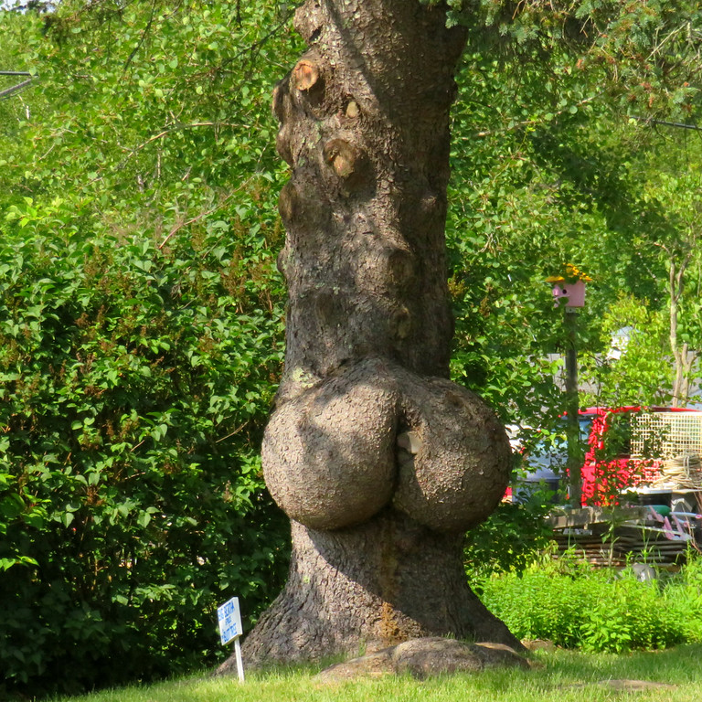 Big Bertha of Boothbay Harbor - the Butt Tree