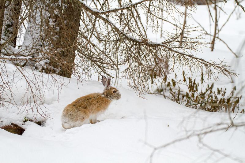 Snowshoe Hare Warren Nelson Memorial Bog Sax-Zim Bog MN IMG_0762.jpg