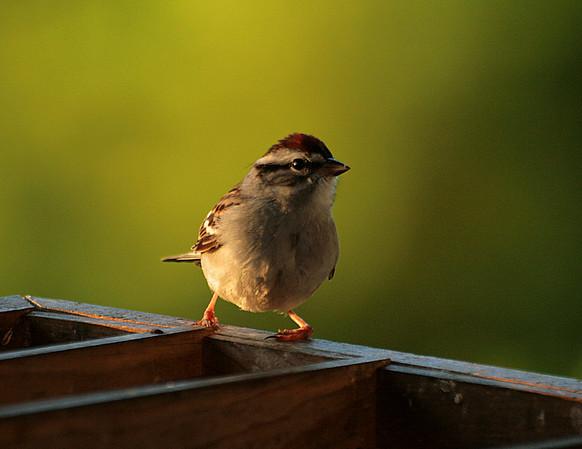 Sparrows, Junco & Towhee