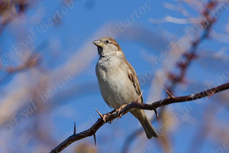IMG_4510 House Sparrow.jpg