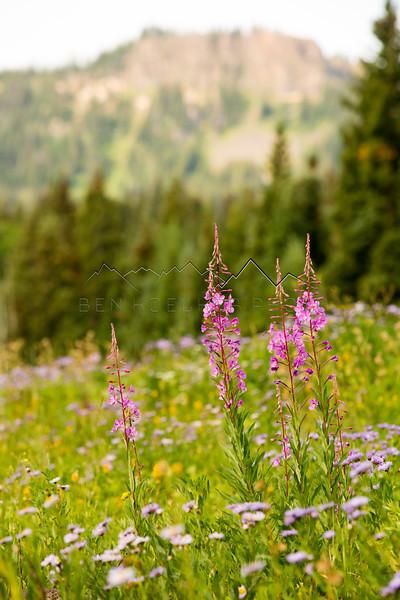 Wildflowers in the Flattops Range, CO