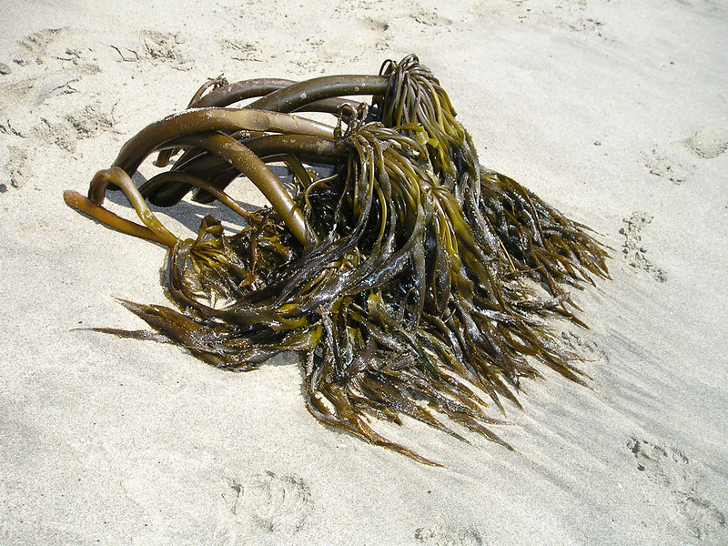 This kelp had buried itself in the sand such that it looked like it was growing there.