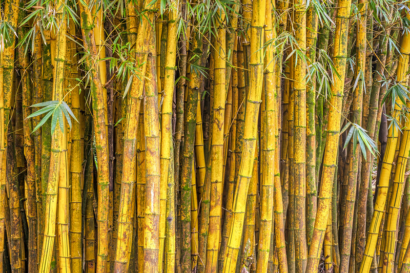 Yellow Bamboo Forest, Study 2, Maui, Hawaii