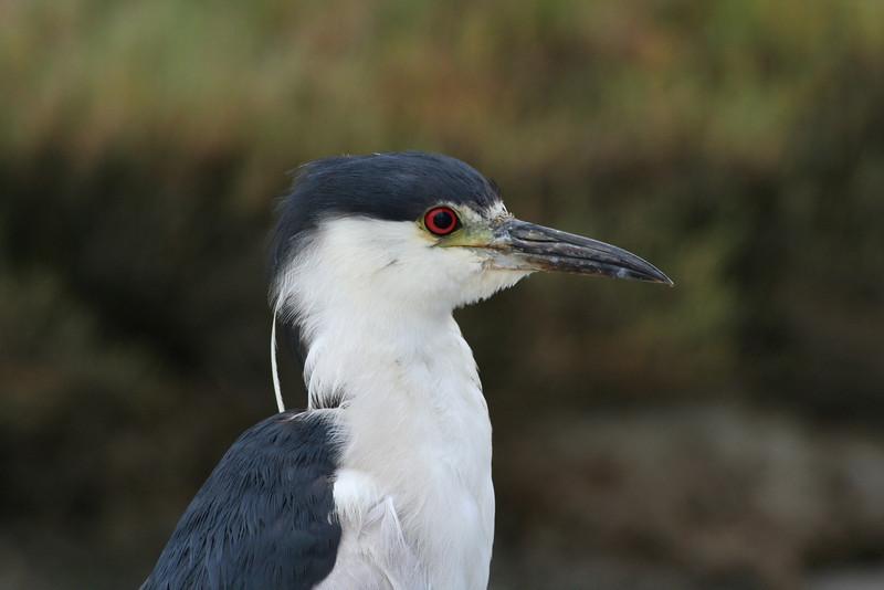 Black-crowned Night Heron.JPG