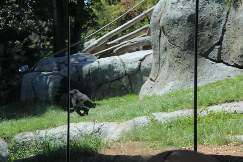 20170807-154 - San Diego Zoo - Gorilla.JPG
