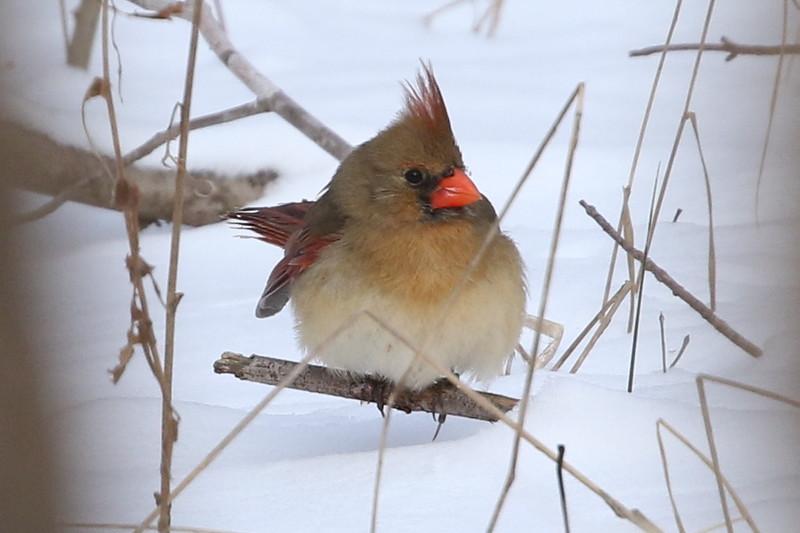 Illinois's Northern Cardinal