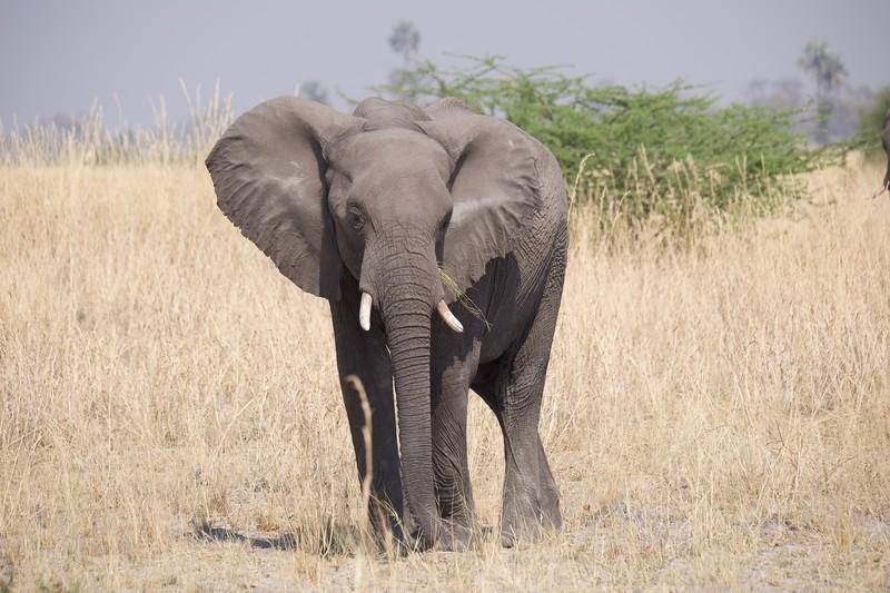 Elephants feeding, Selinda Explorer camp, Botswana