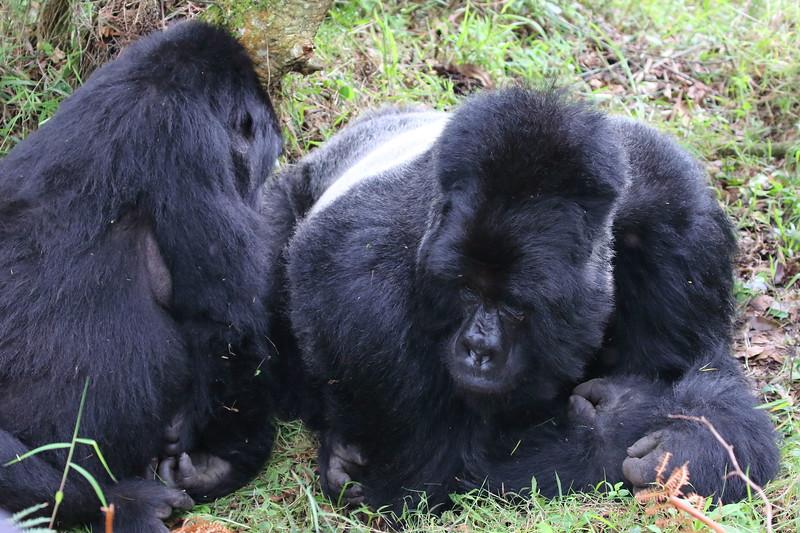 Gorilla0025.JPG