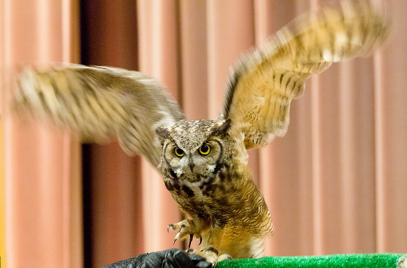 A demonstrative Great Horned Owl