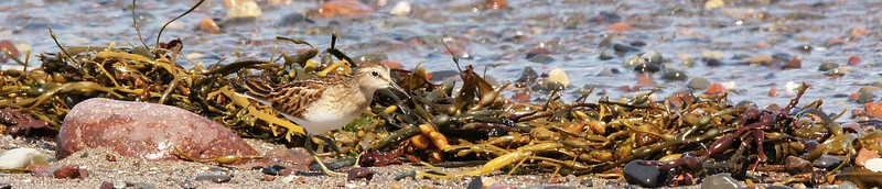 SANDPIPERS AND PLOVERS 2016