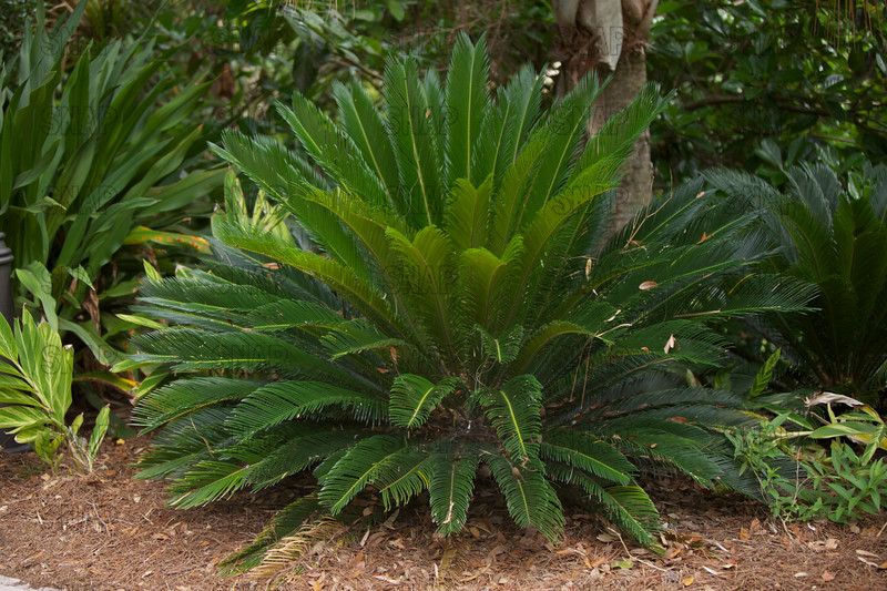 Sago Palm, or Cycad (Cycads sp.).