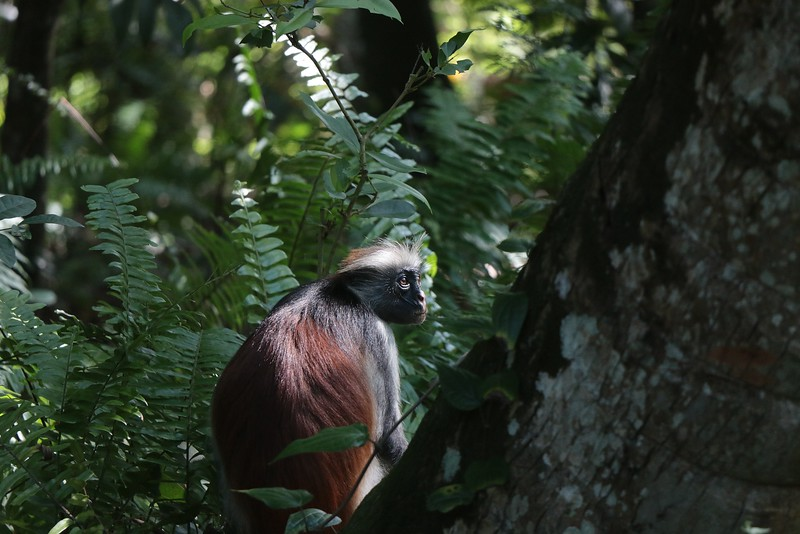Red colobus monkey in Jozani Chwaka Bay National Park Zanzibar
