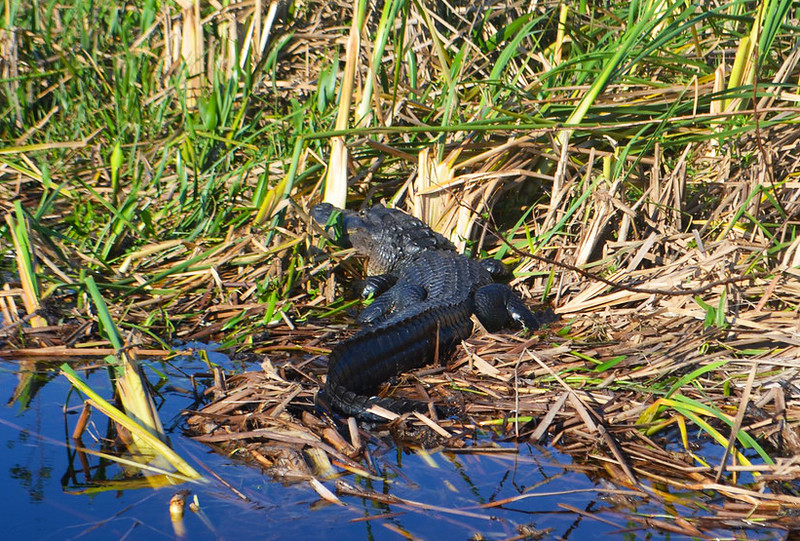 Day 5: Alligator viewed during a Florida airboat ride, photo by Dave Parfitt