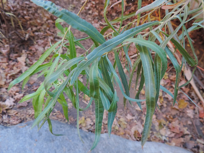 Narrow-leafed Willow (Salix exigua)