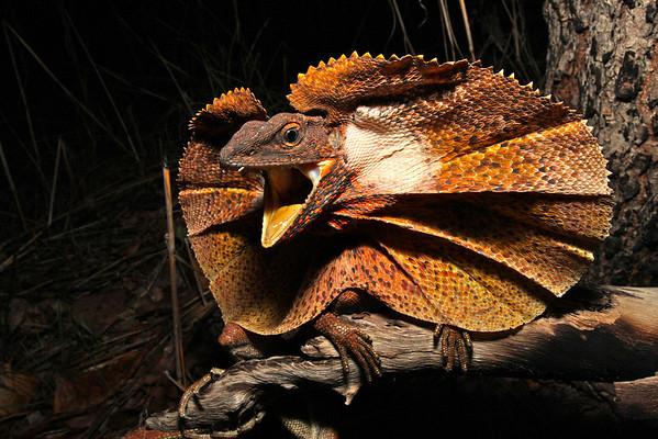 Dragons (Agamidae)