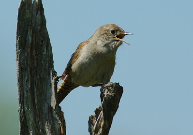 Sparrows, Finches, Wrens, Pine Siskins, Redpolls and Larks