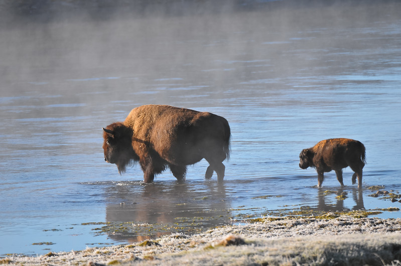 Buffalo, Yellowstone National Park.  Hayden Valley.