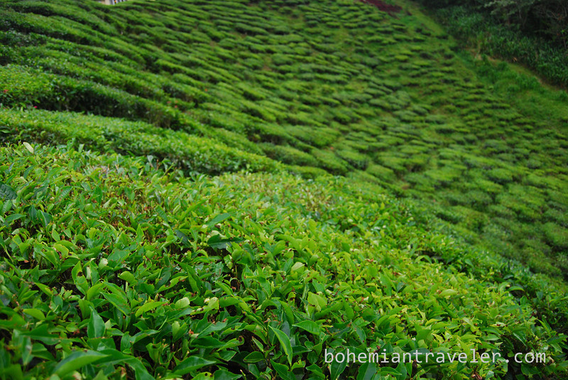 Cameron Valley Tea fields [Bharat] (4).jpg