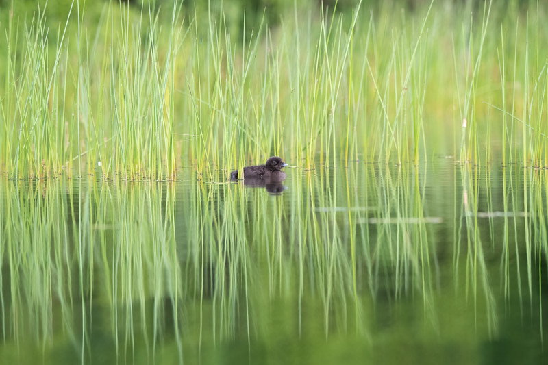 #1693 Common Loon Chick