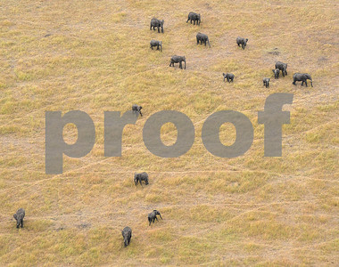 africas-elephants-rapidly-declining-as-poaching-thrives