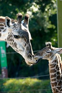 Baby Giraffe - Jack