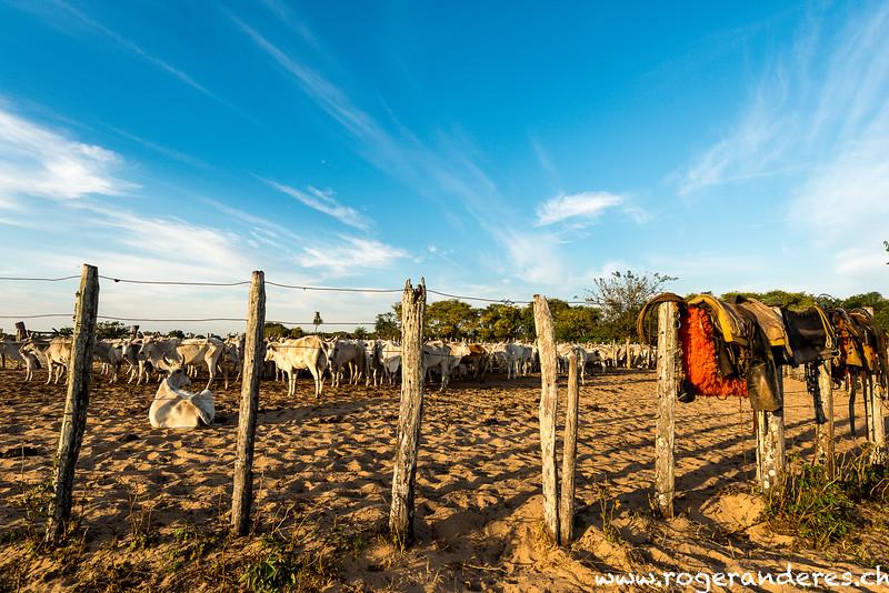 Rinderfarm Pantanal