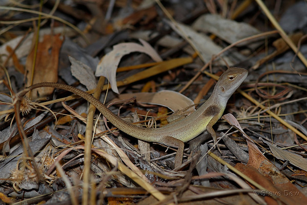 Yellow-sided Two-lined Dragon