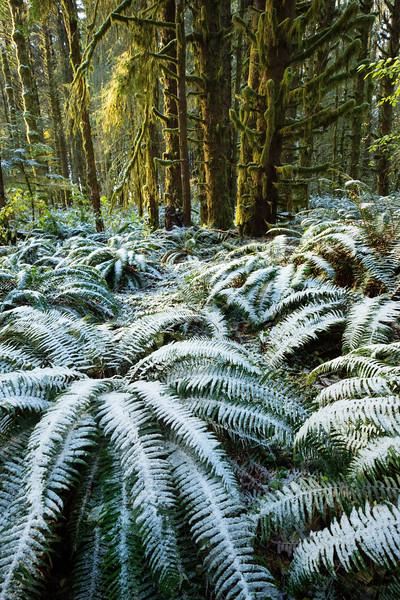 snow on ferns 3.jpg
