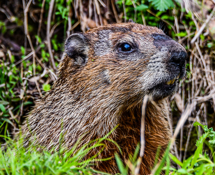 Ground Hog  Close-Up