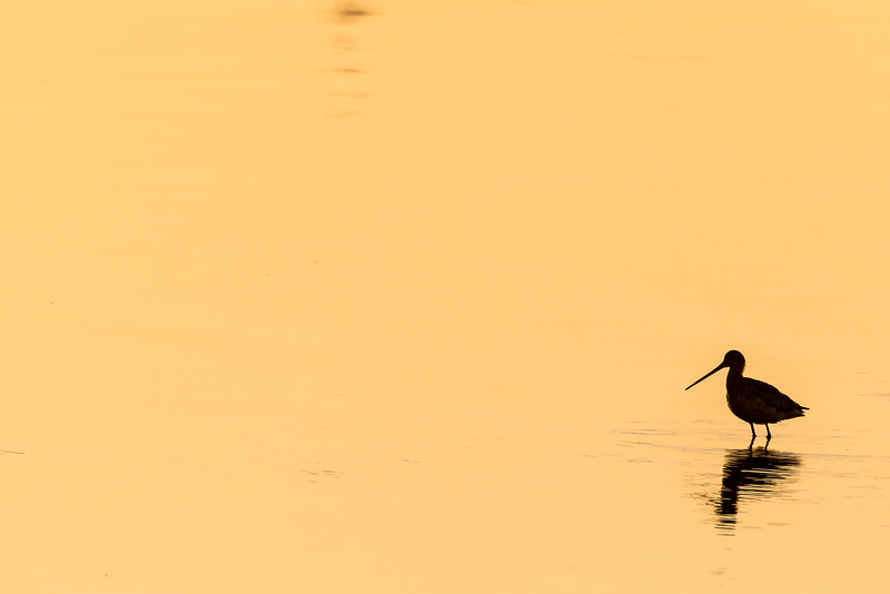 Short-Billed Dowitcher Silhouette