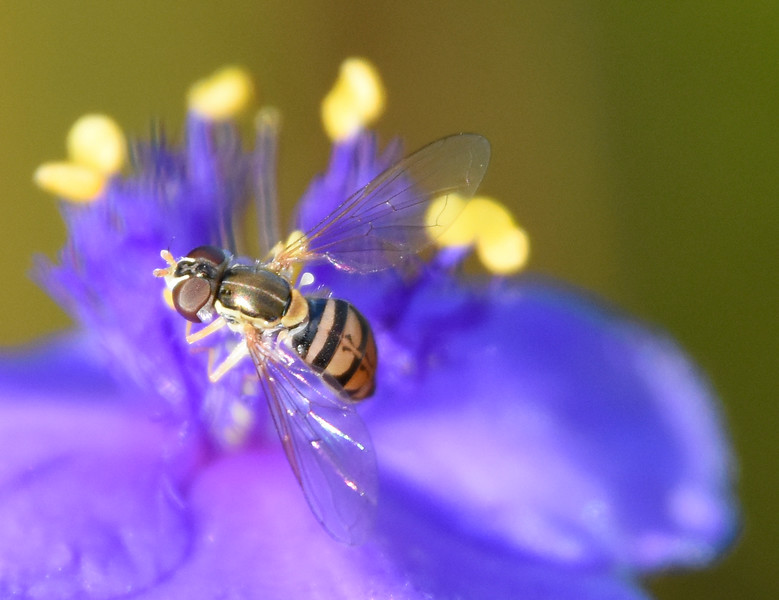 Fly-tradescantia-spiderwort-closeup.jpg