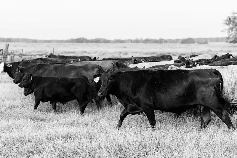 Barthle Cattle-2 (6 of 102).jpg