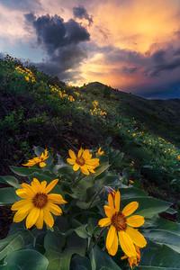 Summer Bloom, Colorado