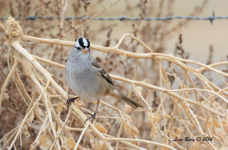 White-crowned Sparrow - 11/30/2014 - San Jacinto Wildlife Area (Davis Road)