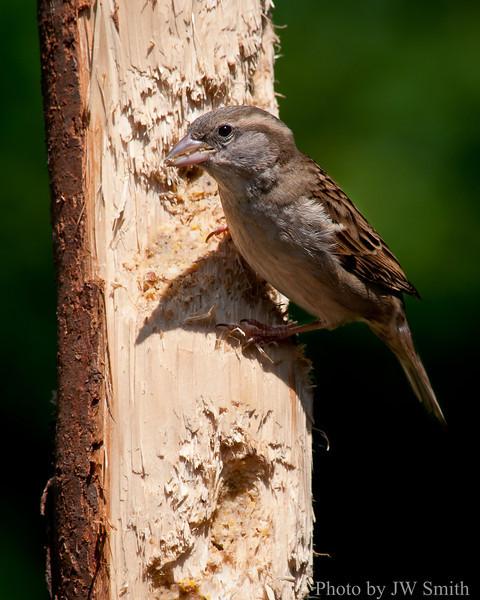 Female House Sparrow ?