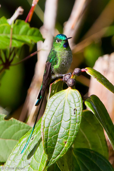 Long-tailed Sylph adult male at Owlet Lodge, Amazonas, Peru (06-30-2010) 275