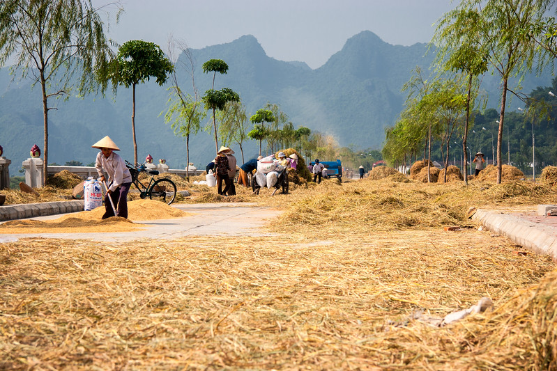 Drying the wheat on a street in My Duc