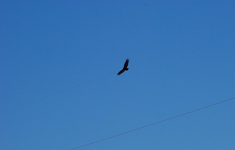 2016-11-05 Audubon Rio Salado Turkey Vulture.JPG