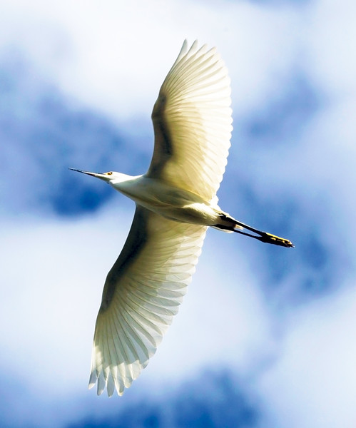 Great Egret over Brays Bayou