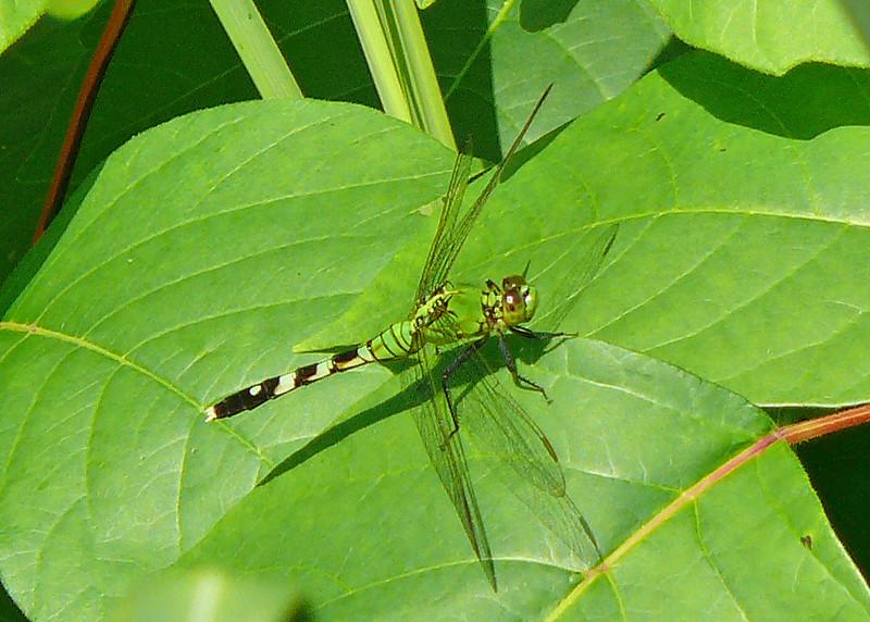 Female Common Pondhawk