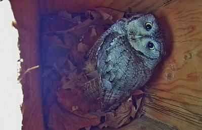Eastern Screech Owls: Build It and They Will Come