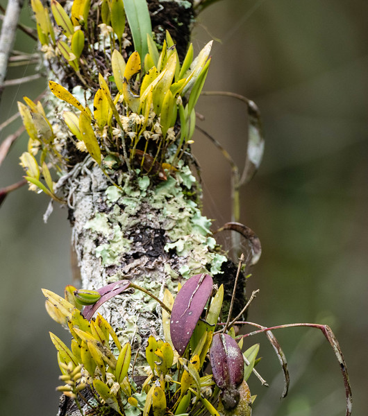 Orchid (epiphyte)